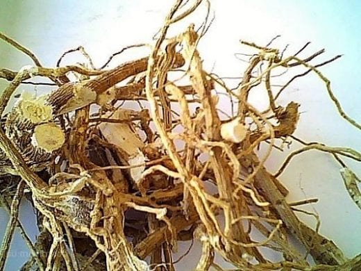 корень шиповника2