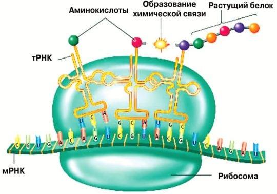 растущий белок