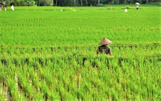 сажают рис